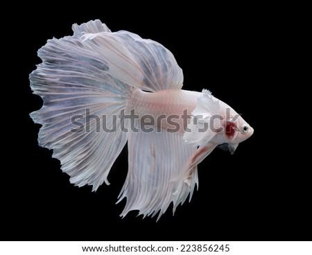 siamese fighting fish , betta isolated on black background - stock photo