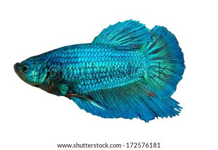 siamese fighting fish , betta isolated on white background - stock photo