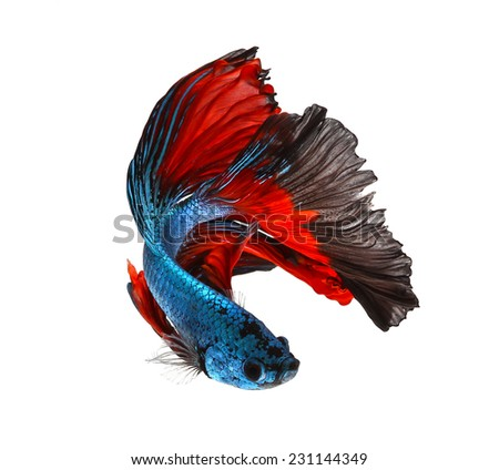 siamese fighting fish, betta isolated on white background. - stock photo