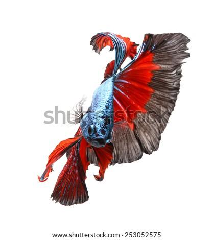 siamese fighting fish, betta isolated on white background. - stock photo