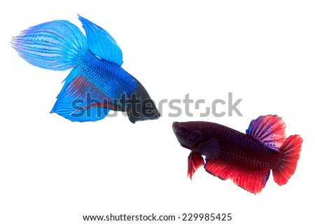 Siamese fighting fish (Betta splendens) are fighting each other. On white background - stock photo