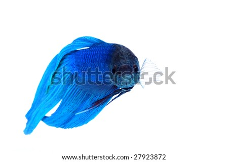 Siamese fighting fish ( Betta splendens ), isolated on white background - stock photo