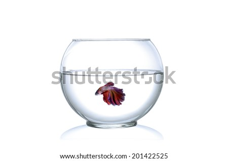 Siamese fighting fish  in a fishbowl isolated on white background. - stock photo
