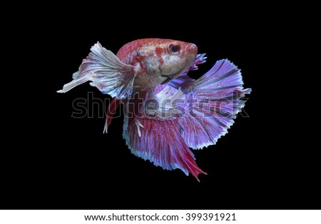 Siamese fighting fish. isolate on black background.