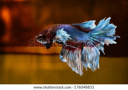 Siamese Fighting Fish isolated on location .Clipping path included. - stock photo
