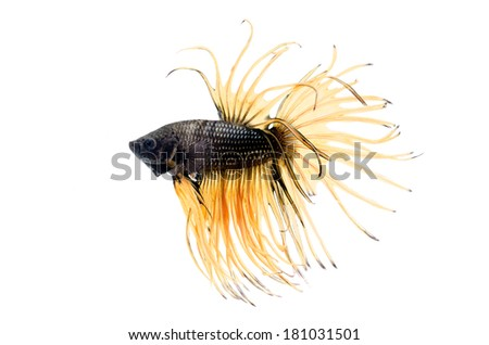 Siamese Fighting Fish isolated on white  - stock photo