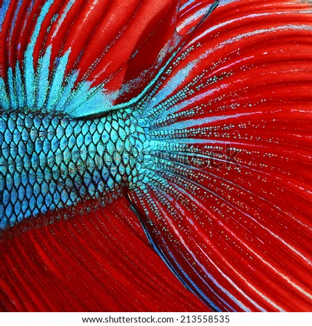 Siamese fighting fish , red and blue betta abstract - stock photo