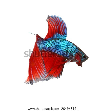 Siamese fighting fish , red and blue betta isolated on white background. - stock photo