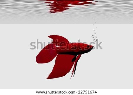 SIAMESE FIGHTING FISH - Red male betta. - stock photo