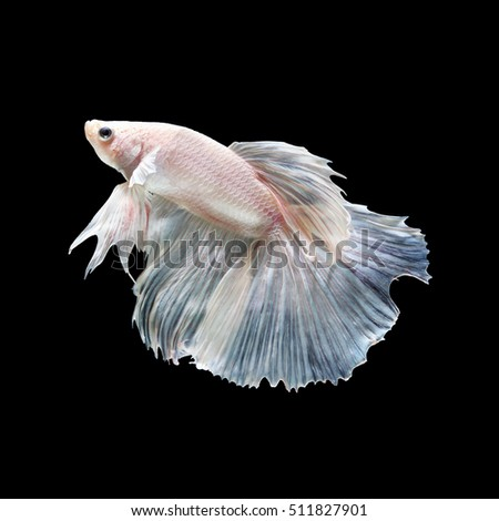 See through stock images royalty free images vectors for Show betta fish