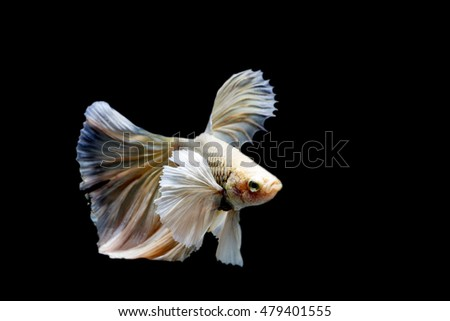 Siamese fighting fish species halfmoon white