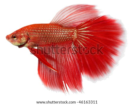 Siamese figthing fish isolated in white background. Betta splendens. - stock photo