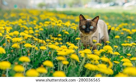 Siamese handsome cat who walks through the meadow with yellow dandelions. - stock photo