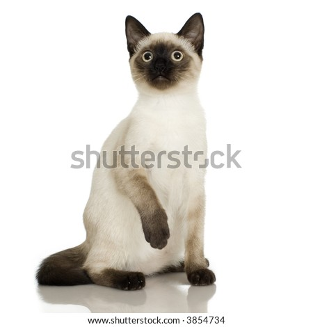 Siamese in front of a white background