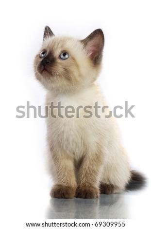 Siamese kitten isolate on white - stock photo