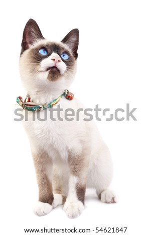 Siamese kitten looking up in front of a white background - stock photo