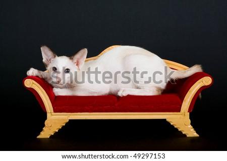 Siamese kitten lying on mini victorian couch, on black background - stock photo