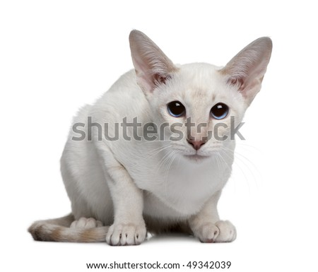 Siamese kitten, 5 months old, sitting in front of white background - stock photo