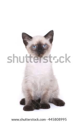 Siamese Kitten on White  - stock photo