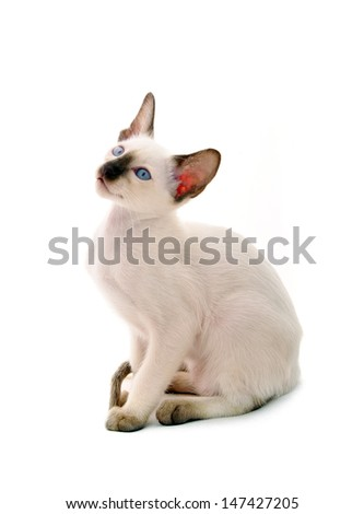 Siamese kitten, portrait against white background - stock photo
