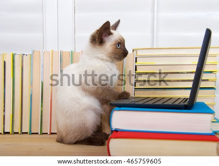 Siamese kitten with blue eyes sitting at a miniature laptop computer stacked on books with books in background. Looking intently at the screen.