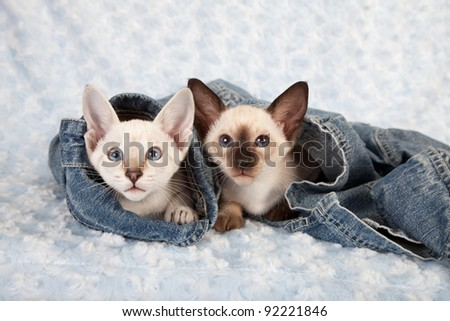 Siamese kittens hiding in denim jacket on blue background - stock photo