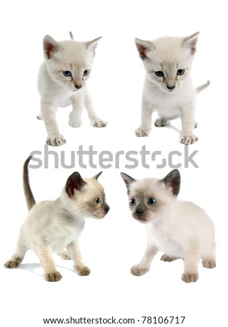 Siamese kittens, isolated on a white background. Close-up