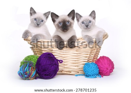 Siamese Kittens on White Background With Basket of Yarn - stock photo