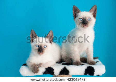Siamese kittens sitting over blue background, looking at camera/ - stock photo