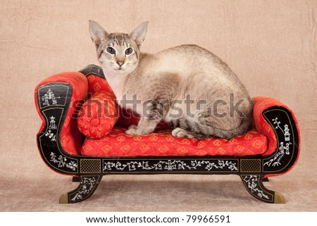Siamese lying down on beige background - stock photo