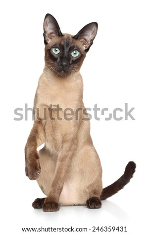 Siamese Oriental cat sits on a white background - stock photo