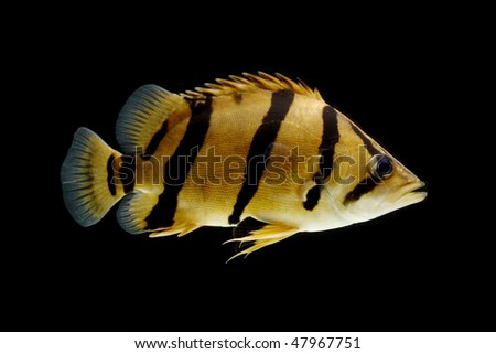 Siamese Tigerfish (Coius microlepis) isolated on black background. - stock photo