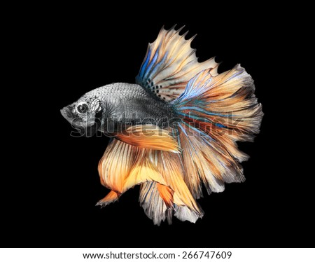 Siamess fighting fish,colorful half moon on black background. - stock photo