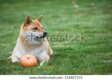 siba inu dog with pumpkin, horisontal photo with copy spase - stock photo