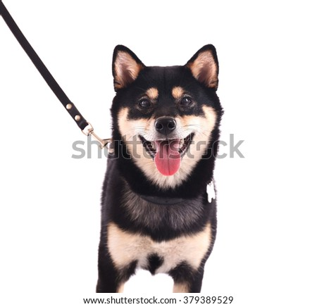 Siba inu with lead isolated on white background - stock photo