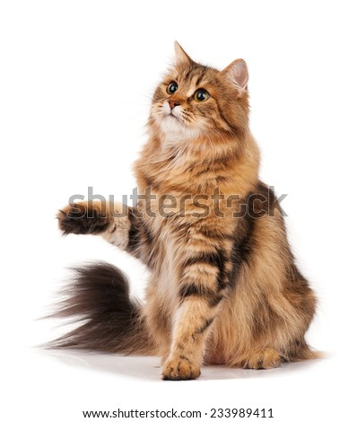 Siberian beautiful adult cat over white background - stock photo