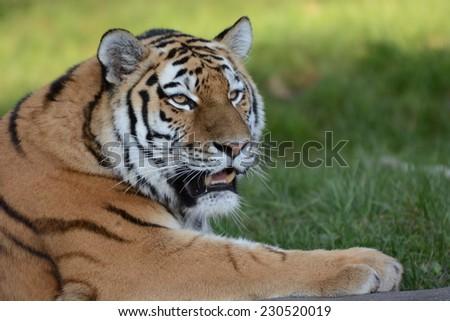 Siberian big Cat - stock photo