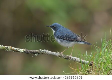 Siberian Blue Robin - stock photo