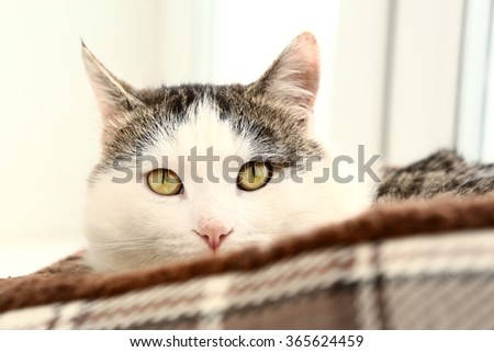 siberian breed cat close up portrait on the windowsill lay in cat bed - stock photo