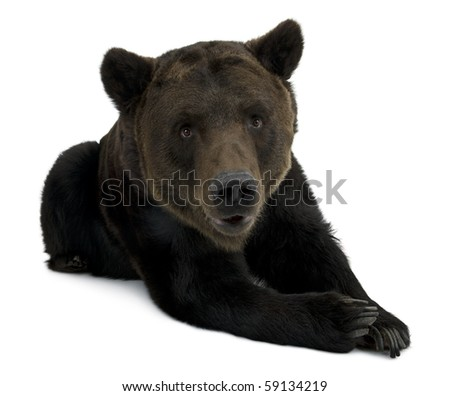 Siberian Brown Bear, 12 years old, lying in front of white background - stock photo