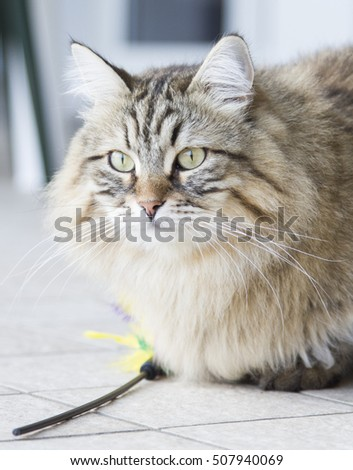 Siberian brown cat with a feather