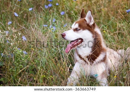 Siberian Brown Husky with blue eye at the green lawn - stock photo