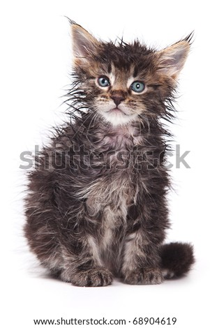 Siberian cat isolated on white - stock photo