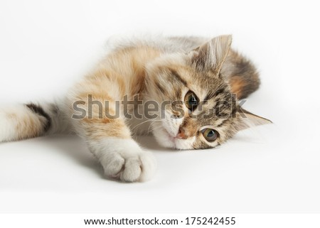 Siberian cat, lying on the table
