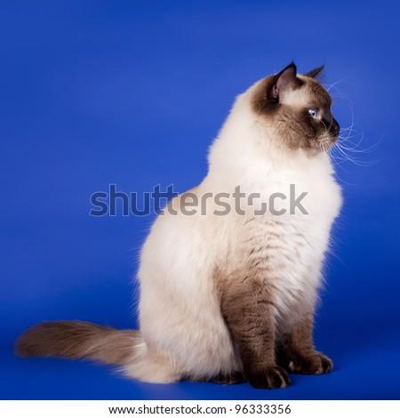 Siberian cat on blue background - stock photo