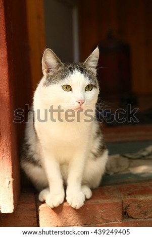siberian cat on the cottage house porch close up photo - stock photo