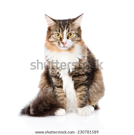 Siberian cat sitting in front and looking at camera. isolated on white background - stock photo