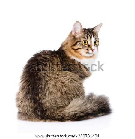 Siberian cat sitting in profile. isolated on white background - stock photo