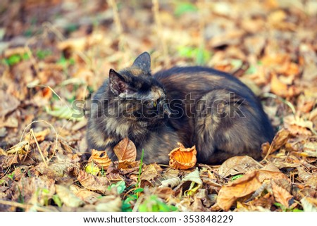 Siberian cat sitting on the fallen leaves  in autumn