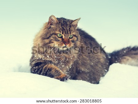 Siberian cat walking in snow - stock photo